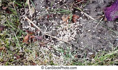 Anthill, ground ants frantically carry eggs in dug-up burrows