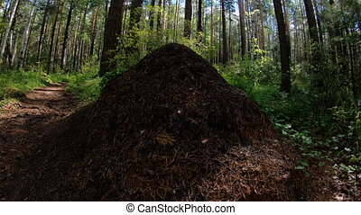 Anthill in forest. Pan