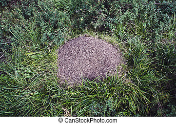 anthill in the forest closeup