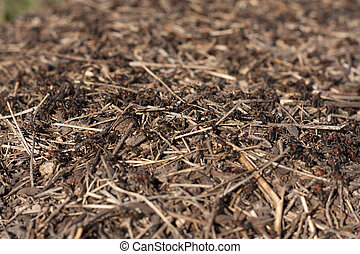 Anthill in the forest with many ants photo