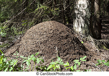Anthill in the woods