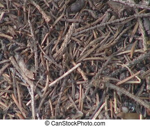 Anthill life closeup. Lots of ants
