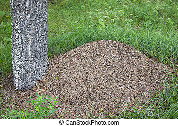 Anthill - Big anthill beside birch tree