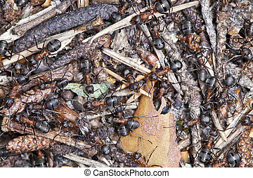 Anthill with large black ants, photographed close up