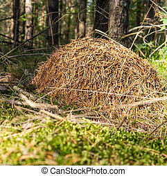 anthill in forest on in late summer