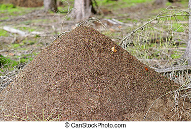 Anthill - a great anthill in the forest