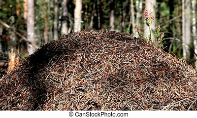 anthill - Large forest ant