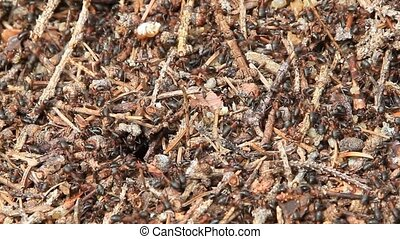 anthill - red ants work harder on a large anthill