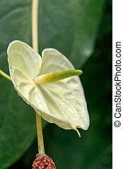 anthurium, cf, scandens, araceae