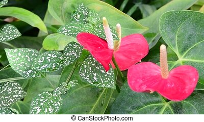Anthurium plants. Red anthurium flowers in botanic garden anthurium andraeanum, araceae orarum . Green and red background. Tropical plants.