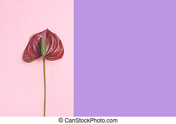 Anthurium red flower on the pink and purple background.