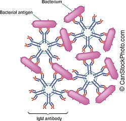 Antibody action - Illustration of serum antibody test;...