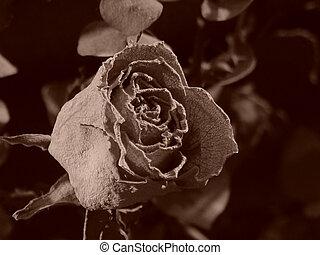 anticaglia, rosa, sepia