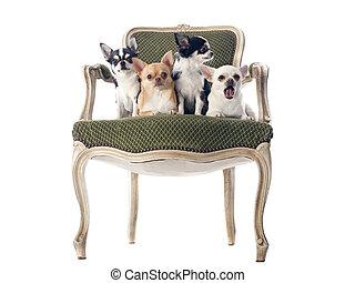 antieke , stoel, chihuahuas