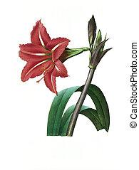 antigüedad, amaryllis, flor, bresilienne, ilustración