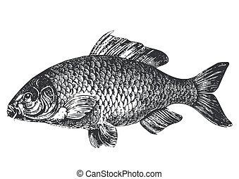 antigüedad, carpa, pez, ilustración