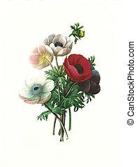 antigüedad, flor, ilustración, anémona, simple