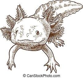 antigüedad, grabado, ilustración, axolotl