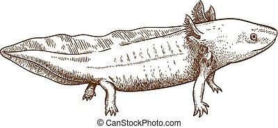 antigüedad, salamandra, grabado, ilustración, axolotl