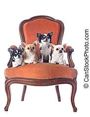 antigüidade, cadeira, e, chihuahuas