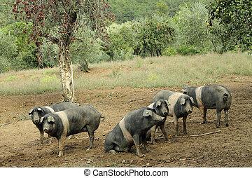 antiga, muito, raça, pig., senese, tuscan, cinta