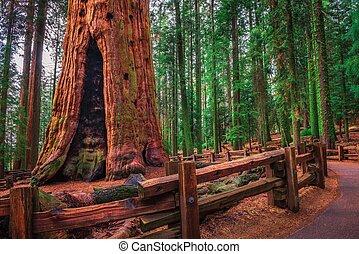 antiga, parque, nacional, sherman, árvore, geral, sequoia