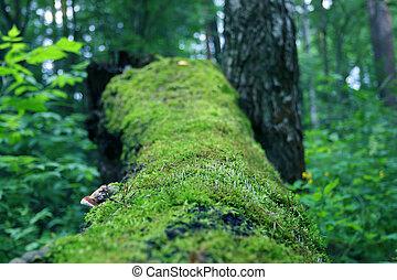 antigas, árvore caída, coberto, com, musgo, entre, capim, em, verão, floresta