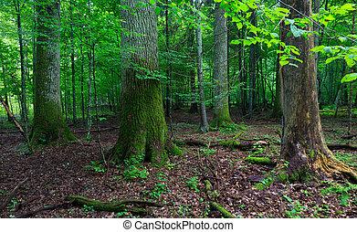antigas, árvore carvalho, em, levantar