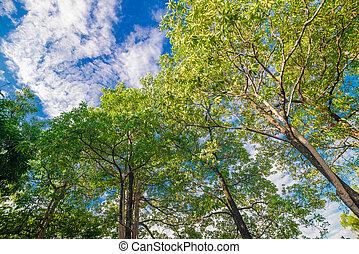 antigas, árvore grande, parque, com, céu azul