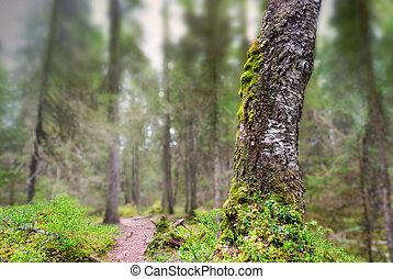 antigas, árvore vidoeiro, com, fungo