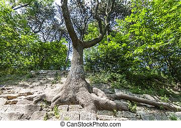 antigas, beleza, grande, nature., árvore, stones., raizes