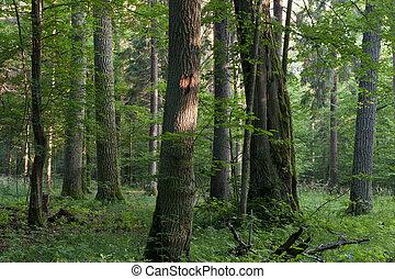 antigas, carvalhos, em, verão, floresta nebulosa
