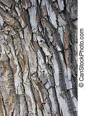 antigas, cottonwood, textura, árvore