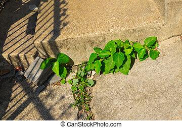 antigas, erva daninha, através, fenda, crescendo, lar