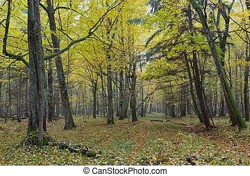 antigas, hornbeam, árvores, em, outono