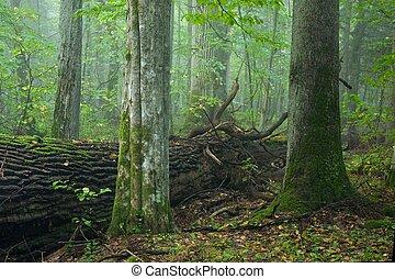 antigas, hornbeam, e, asseado, em, floresta nebulosa