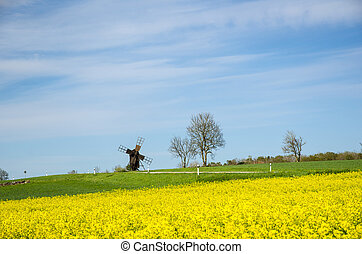antigas, moinho de vento, em, um, flor, rapeseed, campo