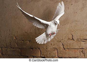 antigas, parede, voando, contra, fundo, pombo branco, tijolo