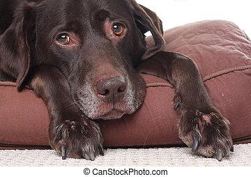 antigas, triste, cão