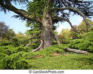 antiguo, árbol, cedar-of-lebanon