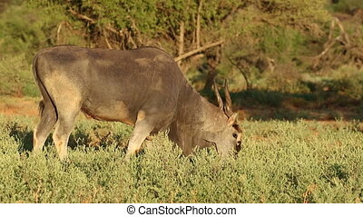 antilope, alimentation, eland