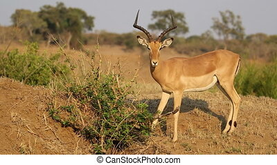 antilope, alimentation, impala