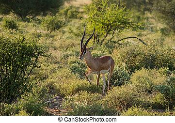 antilope, centraal, savanne, park, jonge, vrouwlijk, kenia,...