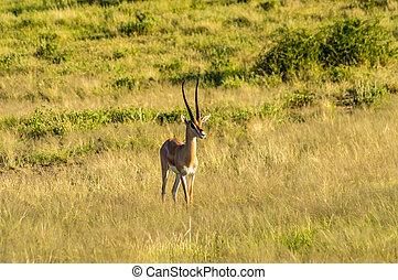 antilope, gezien, in profiel, in, de, savanne