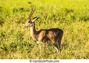 antilope, gezien, in profiel, in, de, savanne, van, samburu, park