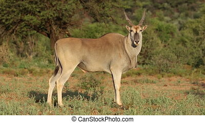 antilope, mâle, eland