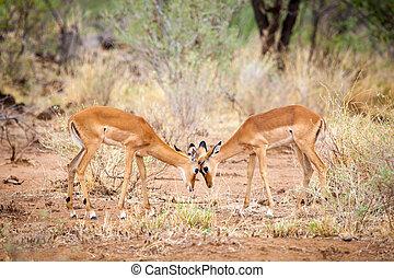 antilopen, is, schermutseling, in, de, savanne, van, kenia