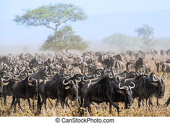 antilopes, gnus, antilopes, poussiéreux, connochaetes., ou, gnou, savanna., troupeau, migration., aussi, wildebeests, va, genre, wildebai, migrer, appelé