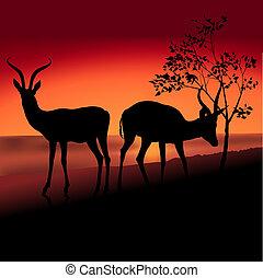 antilopi, due