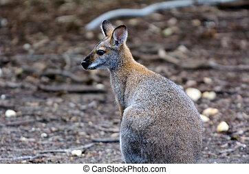 antilopine, känguru